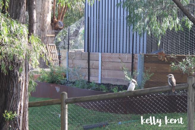 Kookaburras | kelly kent